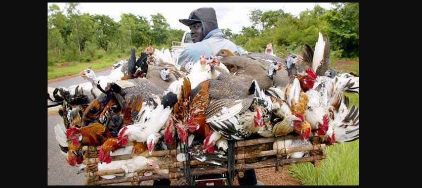 Un livreur de poulets