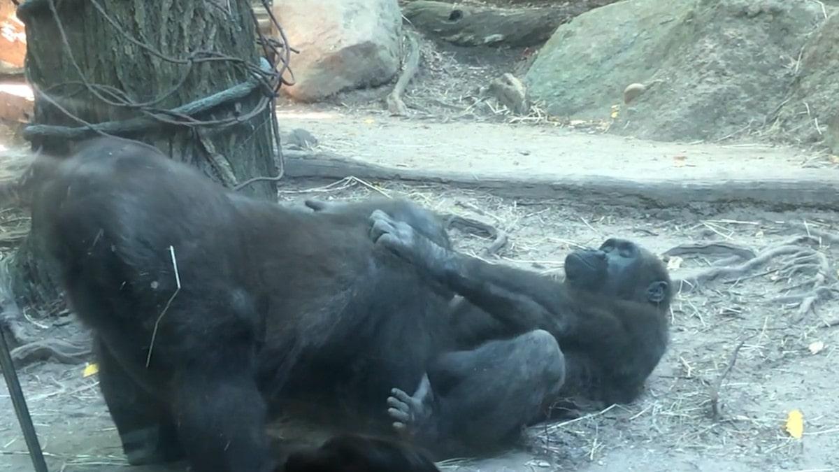 Des gorilles choquent les spectateurs avec un spectacle de sexe oral au zoo du Bronx dans une vidéo hilarante.